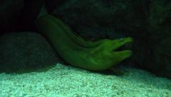 Green Moray Eel in the rocks opening mouth Stock Footage