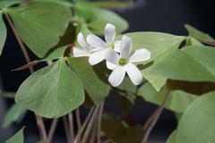 shamrock blooms - stock photo