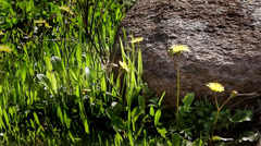 Yellow Daisy on the Meadow and Rock Stock Footage