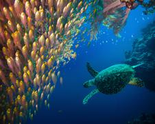 Hawksbill sea turtle (eretmochelys imbricata) Stock Photos