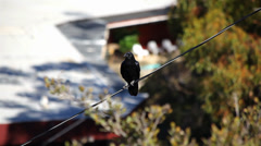 Crow On A Wire 01 HD Stock Footage