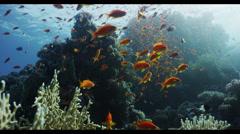 4K : wide, anthias on coral head Stock Footage