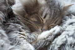 Nukkuva kissa, unessa Kuvituskuvat