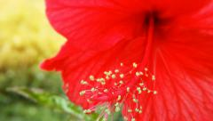 Hibiscus flower bloom. Red Aloha hawaiian tropical plant blossom in green garden Stock Footage