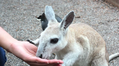 Tourist pets and feeds a nail tail wallaby - stock footage