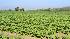 Tobacco farm plant of thailand Stock Footage
