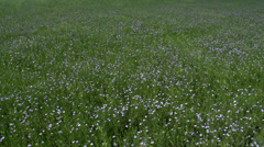 Flax Crop in Bloom Stock Footage