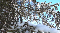 Spring Forest - 10 - Xmas Trees Stock Footage