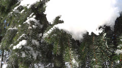 Spring Forest - 11 - Xmas Trees Stock Footage