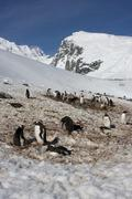 Gentoo penguin, antarctica Stock Photos