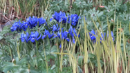 Stock Video Footage of Spring Flowers - 01 - Blue Crocus - Loop