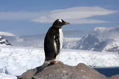 gentoo penguin, antarctica - stock photo