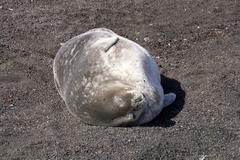 Seal in antarctica Stock Photos