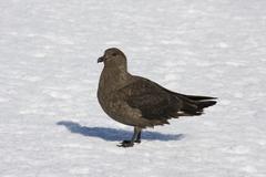 skua, antarctica - stock photo
