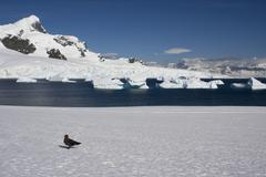 Skua, antarctica Stock Photos