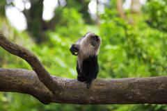 Lion-tailed Macaque Stock Photos