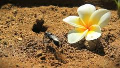 Black Wasp Burrowing into the Sand next to a fallen flower  Stock Footage