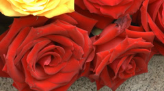 UK roses Golden Tower & Century Sunset arranged in a huge pot. Zooming out view. Stock Footage