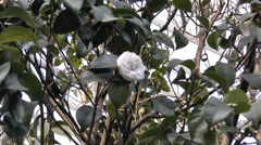White color UK rose in full bloom on a tree.(ROSE--8) Stock Footage