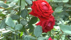 Red color Fragrant Charm roses in full bloom from UK.(ROSE--9) - stock footage
