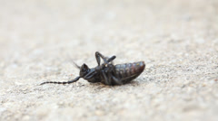 Capricorn beetle lying at its back, struggling - stock footage
