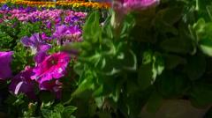 Colorful Nursery Spring Flowers Stock Footage