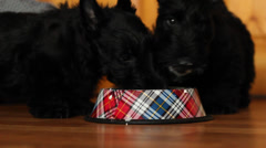 two puppies eat curd - stock footage