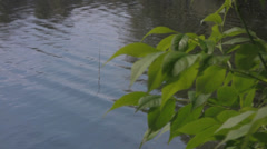 European ash (Fraxinus excelsior) leaves swaying in the wind against a river Stock Footage