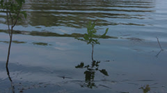 European ash (Fraxinus excelsior) sapling swaying in the flooded river Stock Footage