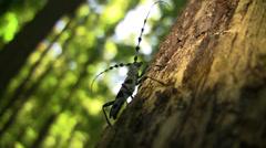 Rosalia longicorn (Coleoptera, Rosalia alpina (L.), Cerambycidae) male sitting - stock footage