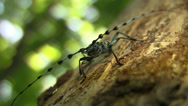 Stock Video Footage of Rosalia longicorn (Coleoptera, Rosalia alpina (L.), Cerambycidae) male sitting