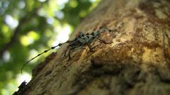 Rosalia longicorn (Coleoptera, Rosalia alpina (L.), Cerambycidae) male sitting Stock Footage