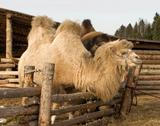 Stock Photo of camel.