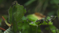 Flying ants at leaf during mating season Stock Footage