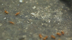 Yellow ants moving fast - full 1:1 macro shot Stock Footage