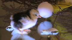 New hatch chicken standing next to egg shells Stock Footage