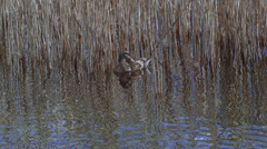Reed and duck in the lake Stock Footage