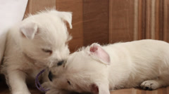 Puppies West Highland Terrier Stock Footage