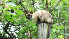 Siamese cat standing on wood stancil in garden Stock Footage