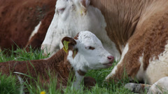 Ruminating calf Stock Footage