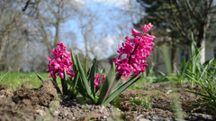 Hyacinth jacinth hyacinthus pink flower bloom closeup garden Stock Footage