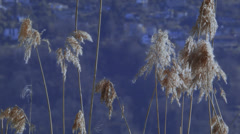 Reed moving in the wind Stock Footage