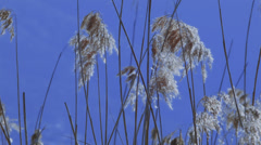 Close up of reed moving in the wind Stock Footage