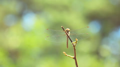 Dragonfly resting on dry twig Stock Footage