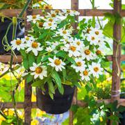 beautiful white narrowleaf zinnia or classic zinnia flowers - stock photo