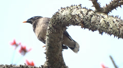 Myna  Perched And Resting On  Tree Branch Stock Footage