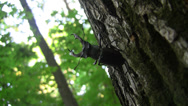 Stock Video Footage of Stag beetle (Lucanus cervus) male standing in the threatening posture on an oak
