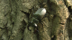 Stock Video Footage of Stag beetle (Lucanus cervus) male sitting on the English oak trunk