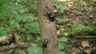 Stock Video Footage of Stag beetles (Lucanus cervus) male and a female sitting on the English oak trunk