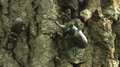 Stock Video Footage of Stag beetle (Lucanus cervus) male creeping along the English oak trunk